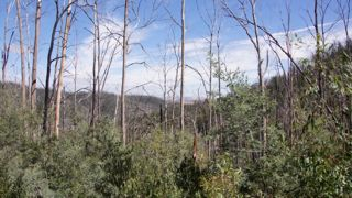 Foliage reduced during 2009 Bush Fires - Regeneration is well on the way.