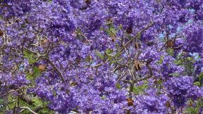 Jacaranda in Grafton