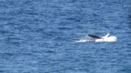 This whale was showing off just near us.