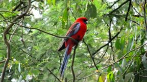 Magnificent Red Parrot