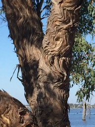 A tall eucalyptus near our site - interesting bark formation